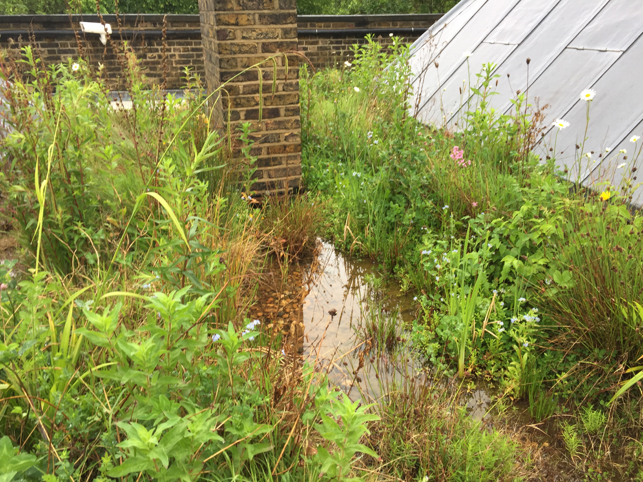 Wetland Green Roof in London Thriving